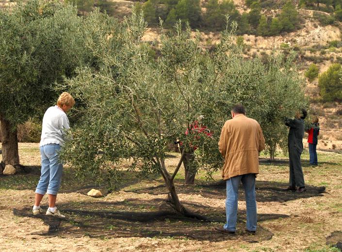 Olive gathering Valero