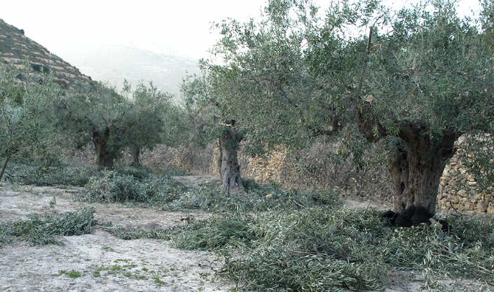 Pruning the olive trees, Valero