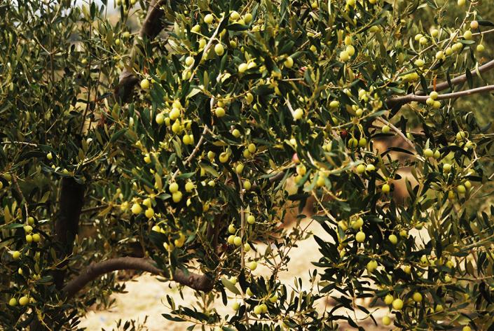 Blanqueta olives, Valero