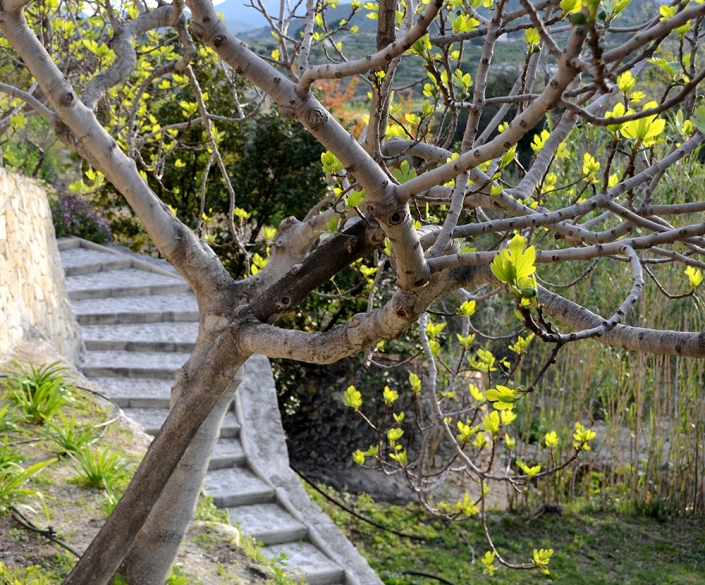 Fig tree and steps